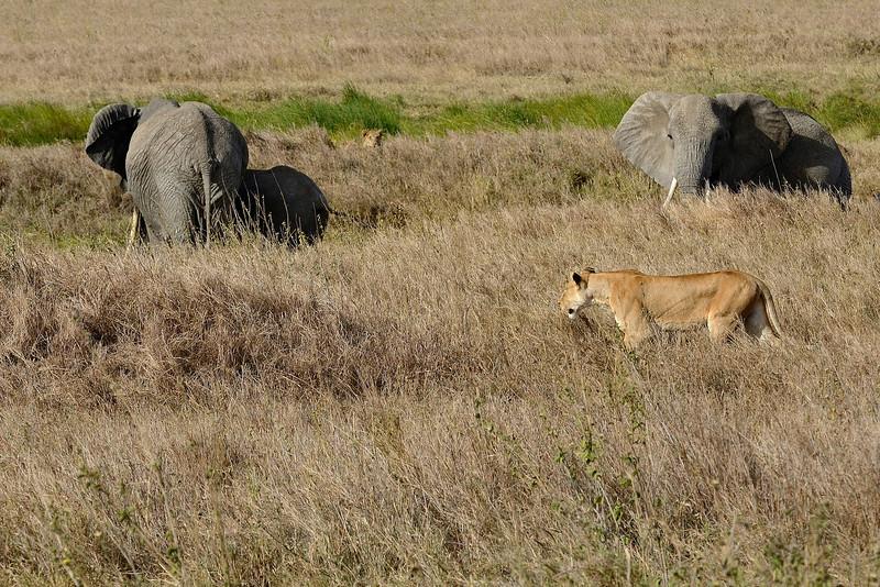 Lioness-targeting-elephant-calf-03.jpg