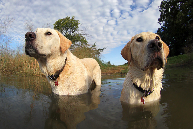 Labradors Of The Lake.jpg