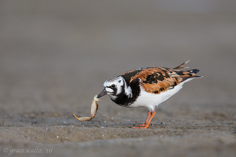 Ruddy turnstone with crab leg
