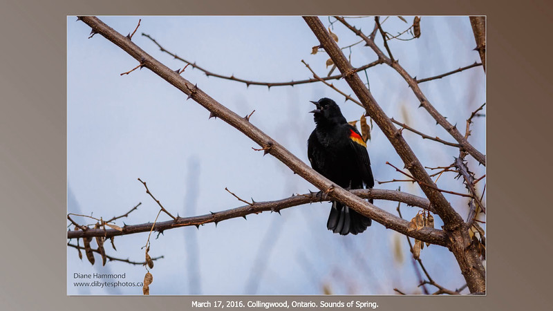 red-winged-blackbird-smugmug.mp4
