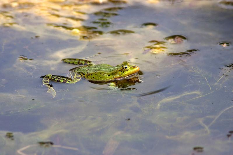 Ätlig groda – Rana esculenta – Green Frog