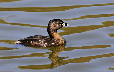 Pie biked Grebe duck