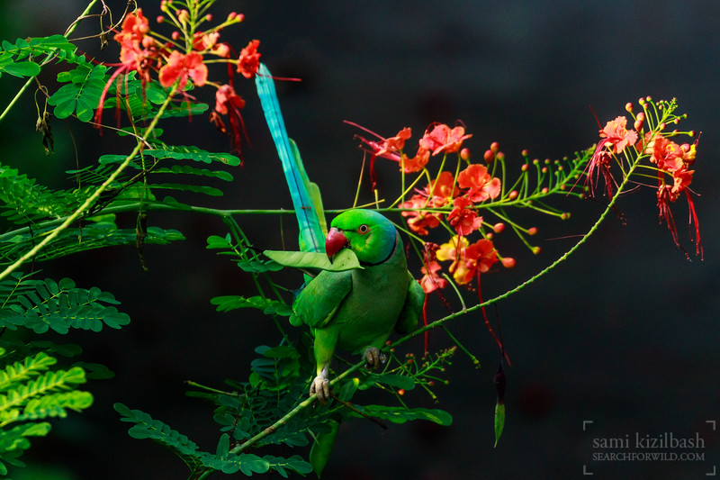 Rose-ringed Parakeet 7.jpg