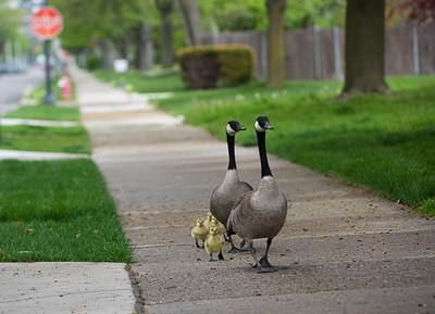Grosse Pointe Geese, 5-17-20