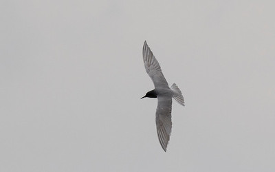 vogels rottemeren (2)