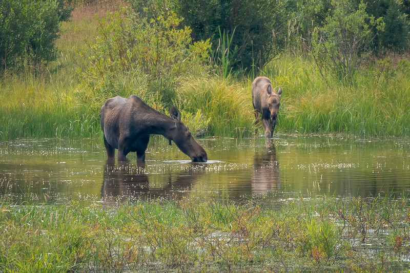 A mother and her calf-.jpg