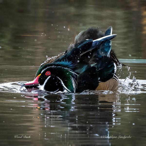 _DS01986Splashiing Wood Duck.jpg