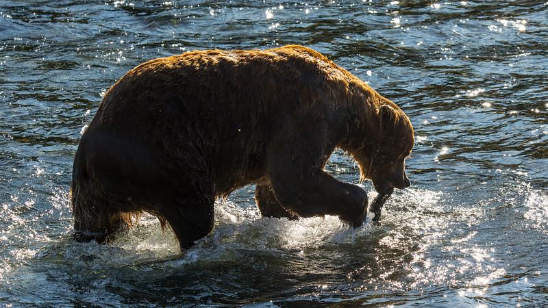 Katmai Bears-53.jpg