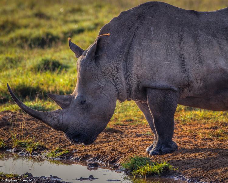 Save-the-rhinos-2.jpg