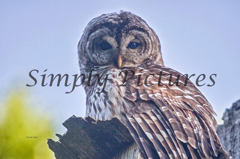 Owl  (47)