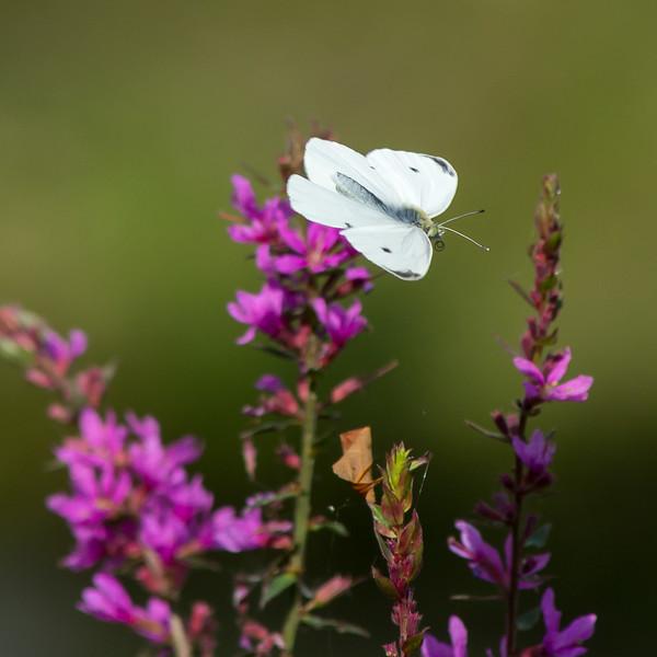 1408_Witte vlinder-0936.jpg