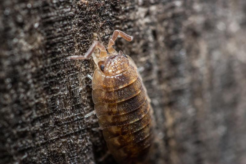 pillbug.jpg