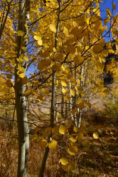 Fall Sierra Leaves.jpg