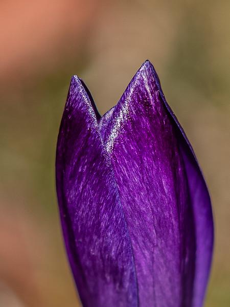 crocus close-up.jpg