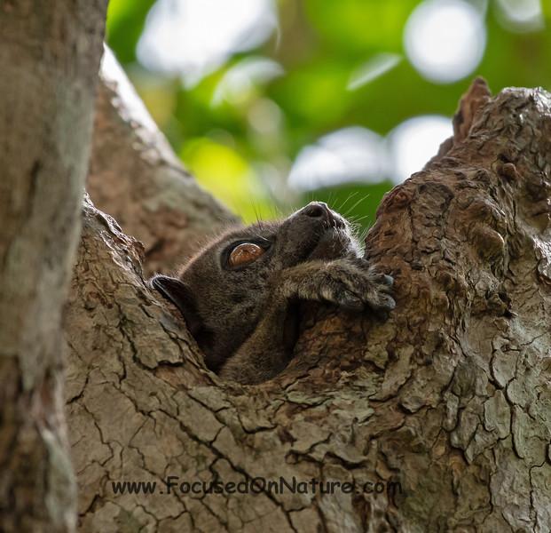 Ankarana Sportive Lemur Hiding