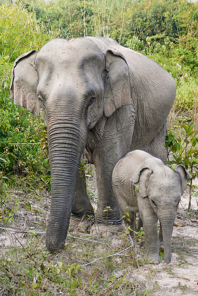 A mother elephant and her new baby in Hongsa, Laos.