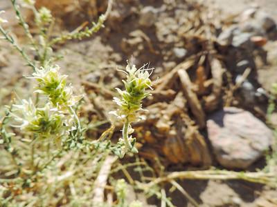 Sandpaper Plant (Petalonyx thurberi)