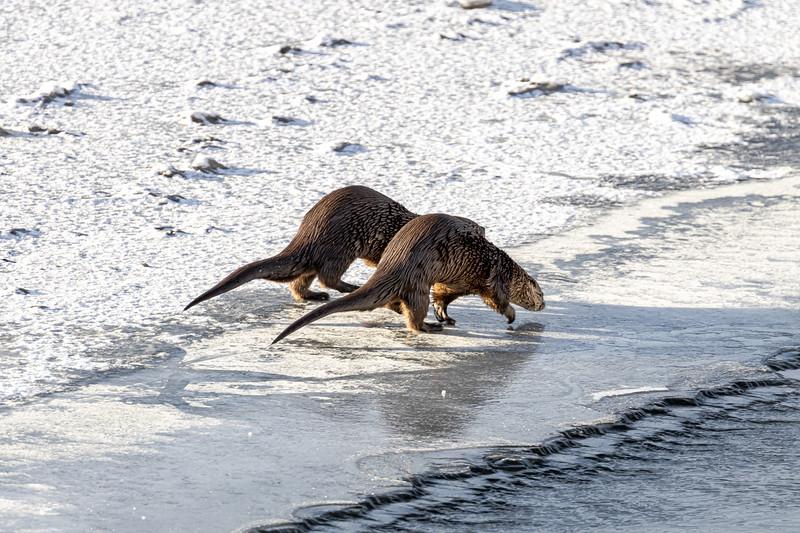 Otters 3.jpg
