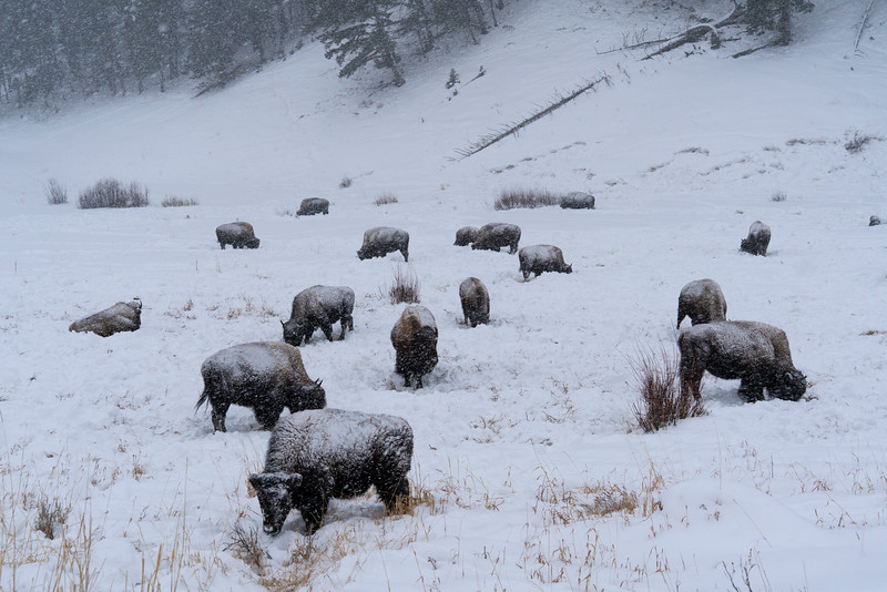 _AR70817 Field of bison in snowstorm.jpg