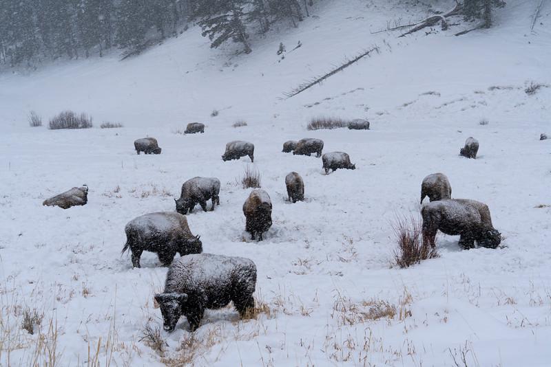 _AR70817 Field of bison in snowstorm.jpg