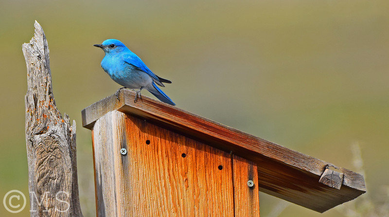 Mountain Bluebird Image Gallery