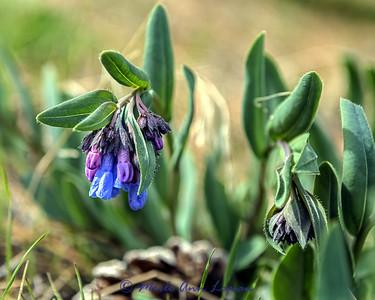 Sagebrush Bluebells - Mertensia oblongifolia