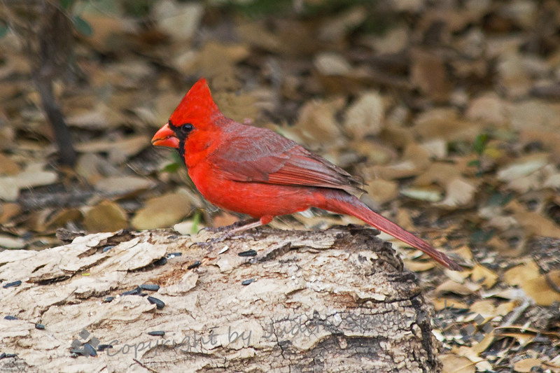Northern Cardinal ~ This beautiful bird was photographed at South Llano River Wildlife Area in central Texas.