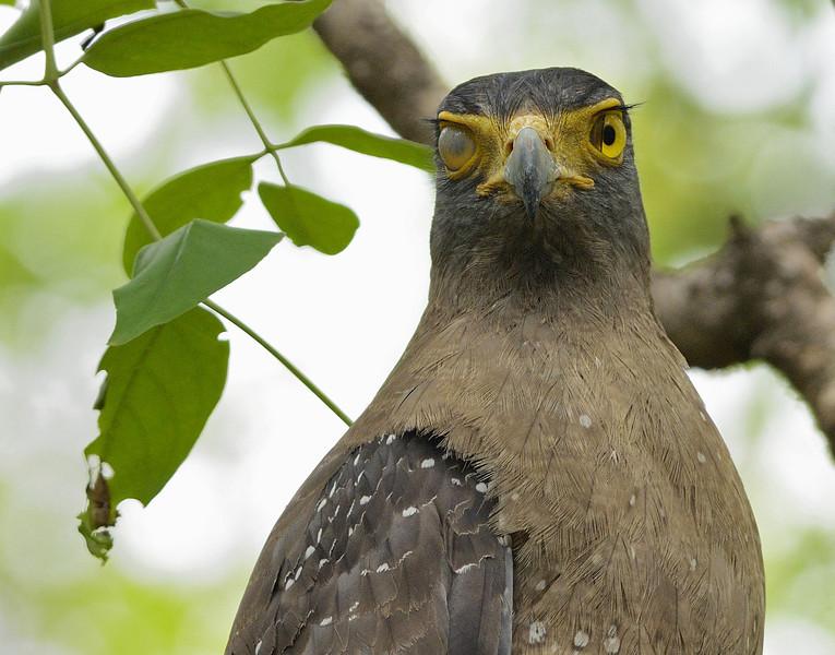 Crested-Serpent-Eagle-04.jpg