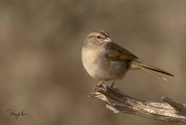 Olive Sparrow LL copy 2.jpg