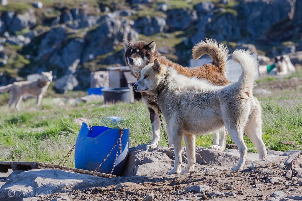 Kangerlussuaq - Greenlandic Husky - Lina Stock