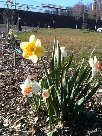 2012-04-05 Daffodils & Deer Tracks