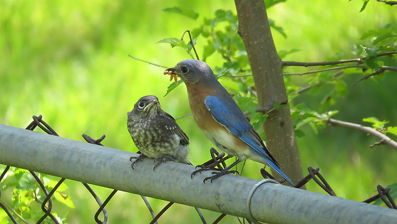 sx50_bluebird_fledge 5_17 799.jpg