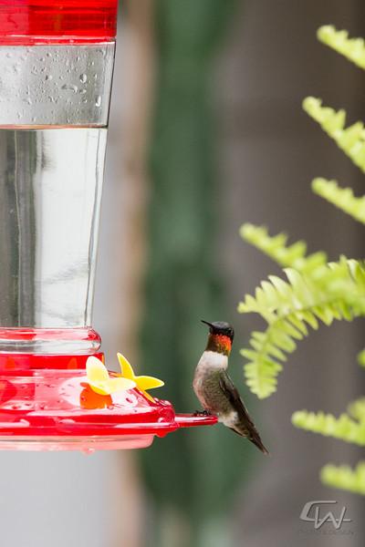 Hummingbird-1945.jpg