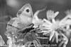 Gate Keeper - Pyronia tithonus (28)