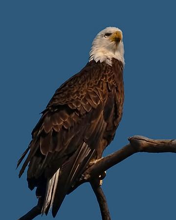 Baytown Bald Eagles 2011