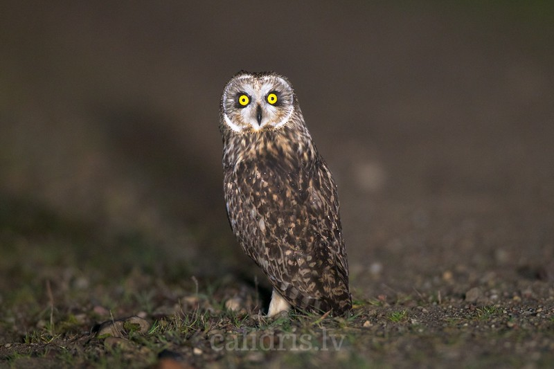 Short-eared Owl / Purva pūce / Asio flammeus