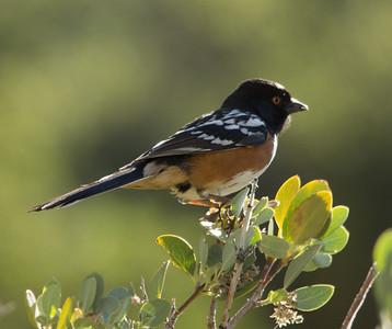 Birds of Nevada 2014
