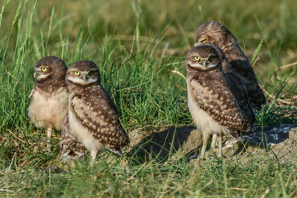 6-30-17 Burrowing Owls