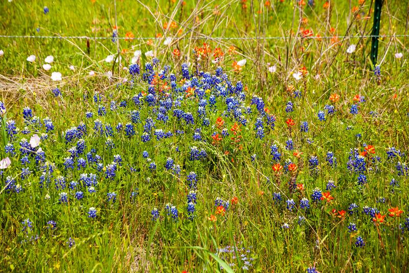 2016_4_9 Texas Wildflower Shoot-8459.jpg
