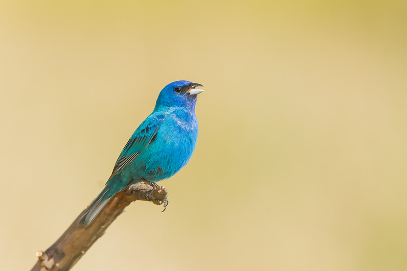 Indigo Bunting - Borges Ranch, Walnut Creek, CA, USA