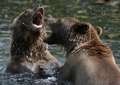 Russian River Grizzly Bears in Kenai Peninsula, Alaska