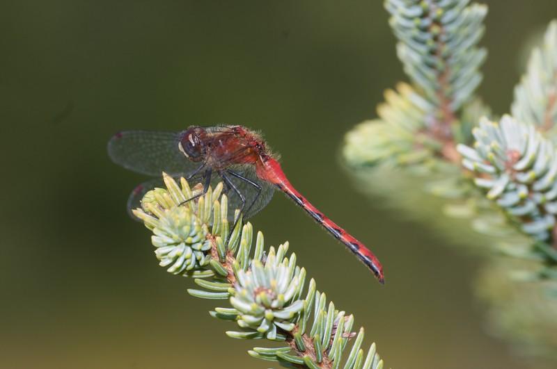 meadowhawk White-faced Meadowhawk male Sympetrum obtrusum Carlton Co MN IMG_0013335.jpg
