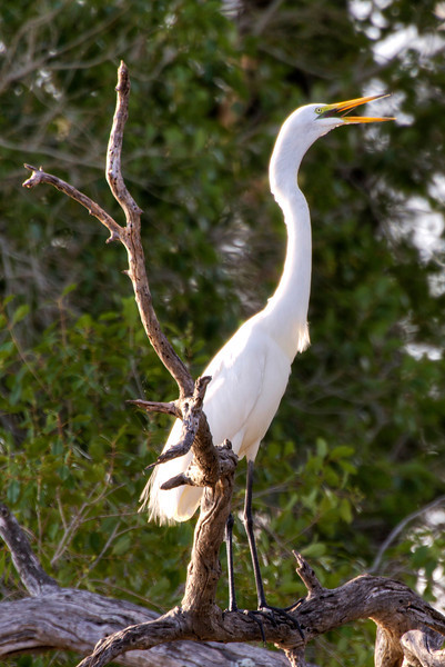 Great-White-Egret-open-mouth-zambia.jpg