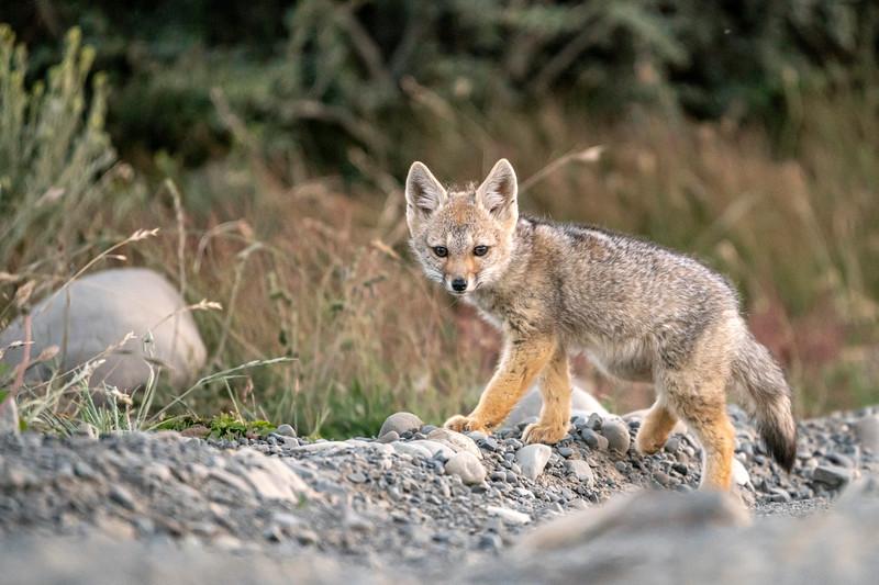 Patagonian Fox Pup