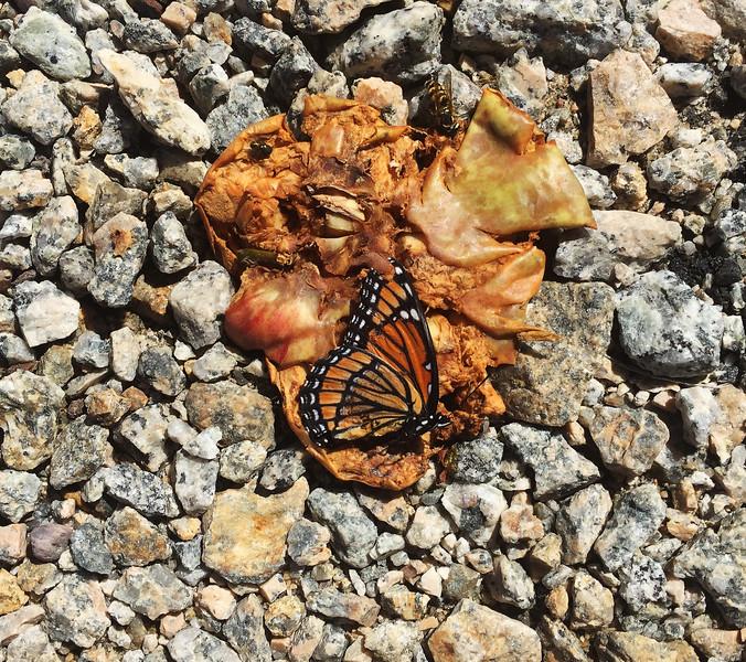 Monarch getting drunk on wind falls