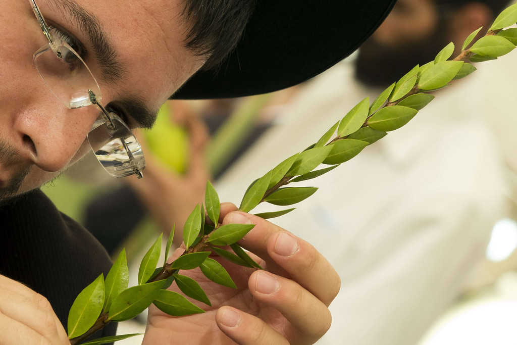 . An Ultra-Orthodox Jewish man inspects a branch of Hadas or Myrtle to be used during the celebration of Sukkot, the feast of the Tabernacles, in the conservative central Israeli city of Bnei Brak, near Tel Aviv, on September 16, 2013. The Sukkot feast, to start on September 19, is a week-long holiday when people eat and sleep in makeshift booths in their gardens and commemorates the exodus of Jews from Egypt some 3200 years ago.  JACK GUEZ/AFP/Getty Images