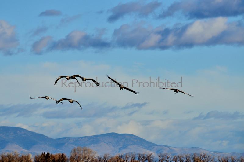Incoming Snow Cranes, Monte Vista National Wildlife Refuge, CO.  Winter 2011