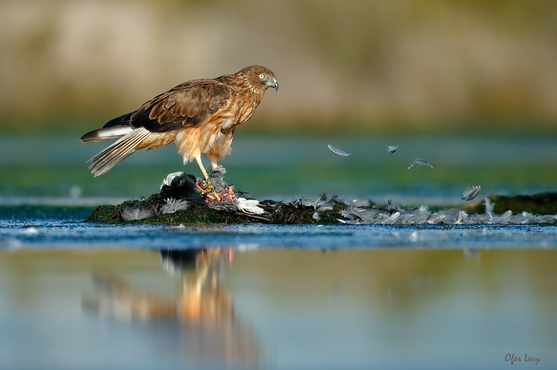 Swamp Harrier 5.jpg