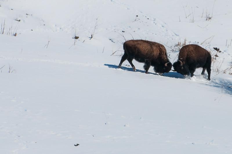 Buffalo-15.jpg