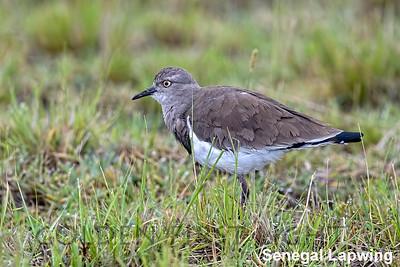Senegal Lapwing, Kenya